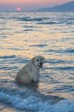 狗在日落的海 库存照片