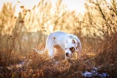 狗在日落的草甸 免版税库存图片