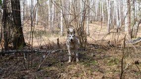 狗在春天森林里在新西伯利亚Akademgorodok 免版税库存图片