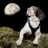 狗在晚上 库存照片