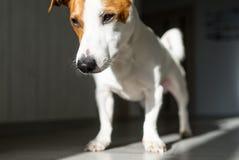 狗在晴朗的地板上在家站立 免版税库存照片