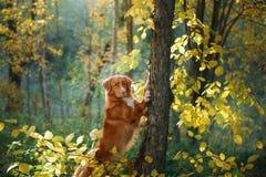 狗在森林在树投入了爪子 翠菊许多秋天的紫红色心情粉红色 新斯科舍鸭子敲的猎犬,鸣钟人 免版税库存图片