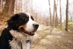 狗在森林里,阳光,葡萄酒画象  库存照片