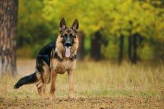 狗在森林里 免版税图库摄影