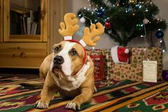 狗在毛皮树和新年礼物前面的舒适客厅 免版税库存图片