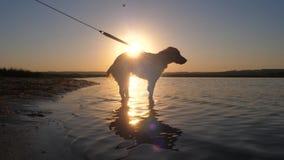 狗在水中站立并且喝水在日落 慢的行动 股票录像