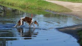 狗在沐浴以后 免版税库存照片