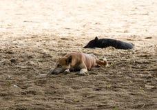 狗在沙子睡觉 免版税库存照片