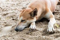 狗在沙子睡觉 免版税图库摄影