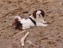狗在沙子说谎 免版税图库摄影