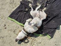 狗在游泳以后被烘干 免版税库存照片