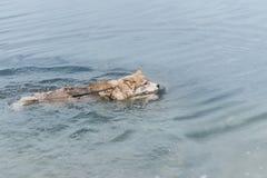 狗在湖或海游泳 西伯利亚爱斯基摩人 热的夏天概念 免版税库存图片