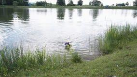 狗在湖跳并且游泳与玩具 影视素材