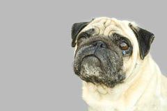 狗在灰色背景隔绝的哈巴狗哭泣 库存图片