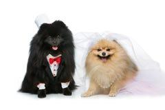 狗在白色隔绝的婚礼夫妇 图库摄影