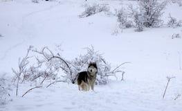 狗在白雪背景的品种爱斯基摩在冬天在森林 狗通过一个多雪的冬天森林走 免版税图库摄影