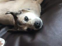 狗在看照相机的床上很逗人喜爱 免版税库存照片