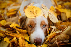 狗在秋天公园 免版税图库摄影