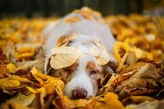 狗在秋天公园 免版税库存照片
