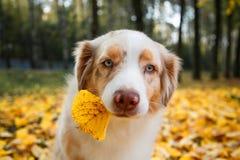 狗在秋天公园 库存图片