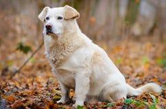 狗在秋天森林里 免版税库存图片
