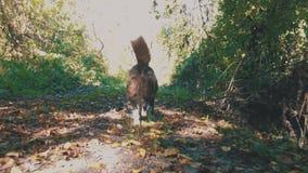 狗在秋天森林里 影视素材