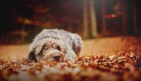 狗在秋季森林里 免版税图库摄影