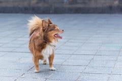 狗在空白的街道上站立 图库摄影