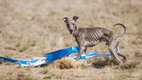 狗在结束的意大利灵狮捉住了一个诱饵 追猎训练 库存照片