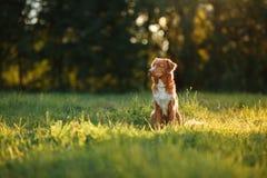 狗在自然,绿色,花新斯科舍鸭子敲的猎犬走 库存图片