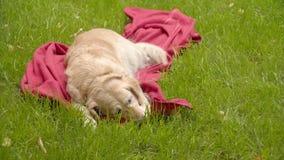 狗在草坪说谎 金毛猎犬在绿草说谎 狗在草坪的红色格子花呢披肩说谎 影视素材