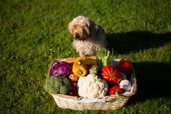 狗在草甸守卫菜篮子 免版税库存照片