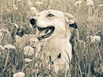 狗在草甸, (139) 图库摄影