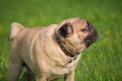 狗在草甸 库存图片