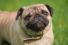 狗在草甸 免版税库存图片
