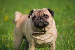 狗在草甸 免版税图库摄影