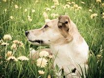 狗在蒲公英草甸, (134) 免版税库存图片