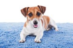 狗在蓝色地毯位于 库存图片