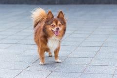 狗在街道上站立 图库摄影