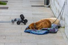 狗在街道的一条皮带说谎 库存照片