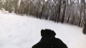 狗在跑森林在与一台照相机的冬天在后面 股票录像