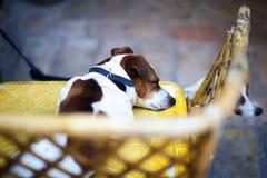 狗在长沙发睡觉在意大利 免版税库存图片