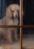 狗在雨被浸泡的视窗里 免版税库存照片