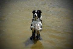 狗在水中乞求 免版税库存图片