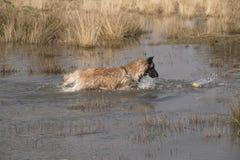 狗在水中的拿来一个球 免版税库存照片
