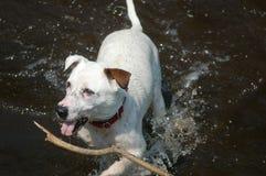 狗在水中的拿来棍子 免版税库存照片