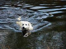狗在水中 免版税库存图片