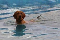 狗在水中 库存照片
