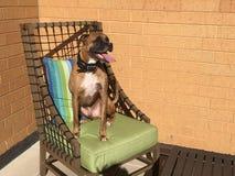 狗坐一把椅子在后院 免版税库存照片