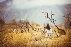 狗坐干燥牧场地在可西嘉岛的山下 免版税库存照片